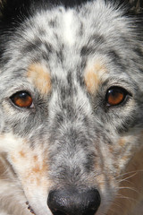 Closeup of face of border collie Australian Shepherd dog canine with motled fur and brown eyes looking alert hopeful thoughtful playful cute attentive