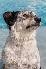 Border collie Australian shepherd dog canine pet sitting in swimming pool wet water looking afraid fearful hopeful wistful obedient guilty uncertain worried