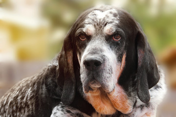 Old retired senior adult hunting dog canine pet or Bluetick Coonhound facing camera with wise expression outside