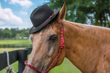 Palomino beige horse equine wearing black hat in costume  and red haltar outside in a field by a fence looking dashing handsome cute worldly
