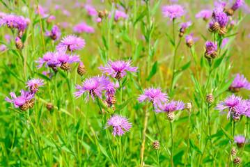 Cornflower flowers