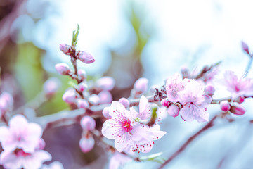Soft focus filtered photo of blooming spring branch