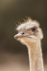 mistrustful ostrich looking aside on safari park