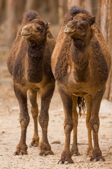 two camels standing on safari park
