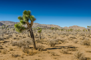 Wall Mural - Small Joshua Tree Leaning Over