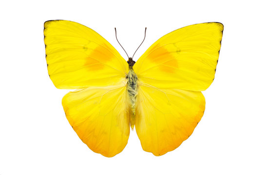 Bright yellow butterfly isolated on white background
