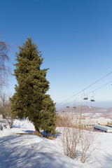 spruce on the slopes