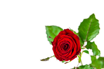 Dark red rose on white background.  Post card background.