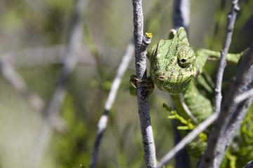 Mediterranean Chameleon, Ria Formosa Nature Park, Portugal.