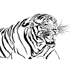 Tigers bared Isolated white background.