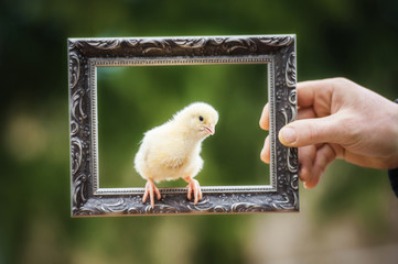 Little chick sitting on the frame