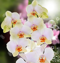 Orchid.Beautiful flower