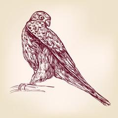 hawk bird of prey - hand drawn vector llustration realistic sketch