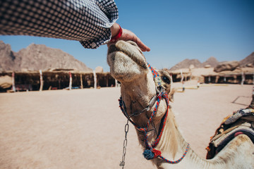 Camel in Sharm El Sheikh