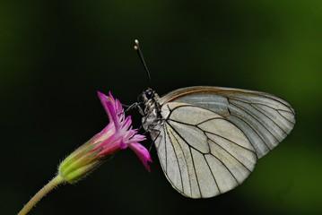 Printed roller blinds Butterfly Beyaz Alıç Karanlığın İçinde