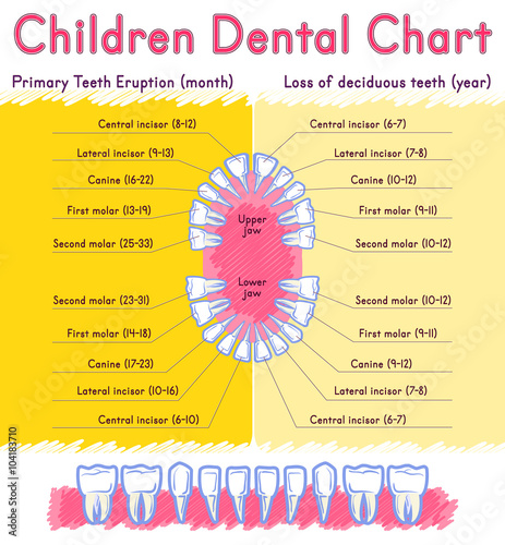 Children Teeth Anatomy Shows Eruption And Shedding Time Dental