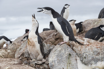 Chinstrap penguins, Antarctica.
