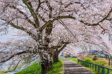 Cherry blossoms at The Hitome Senbon Sakura view along the Shiro
