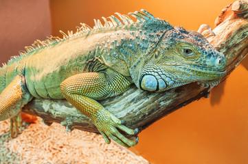 live green iguana