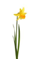 Foto op Canvas Narcis Single Daffodil flower