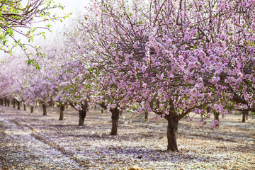 Alley of pink almond trees