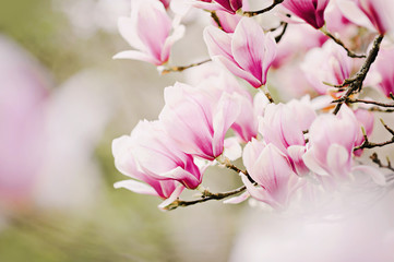 Foto op Plexiglas Magnolia beautiful magnolia tree