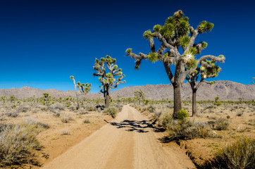 Wall Mural - Large Joshua Trees Flanking Dirt Road