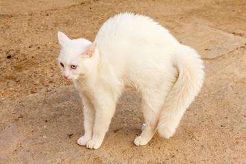 Gato blanco en postura agresiva.