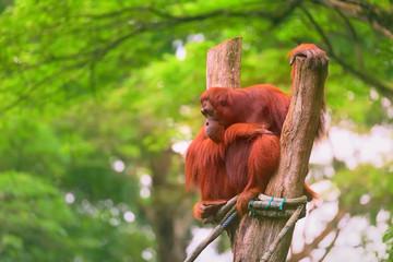 Young orangutan is sleeping on its mother