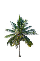 Coconut Tree isolated on white