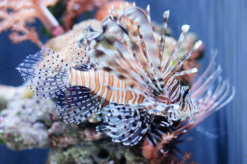 Very beautiful red lionfish against the coral