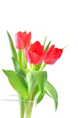 Tulip. Red tulips, bouquet of tulips, tulips macro, tulips in bouquet, beautiful tulips, colorful tulips, green tulips petals, tulips on white, isolated tulips on white background.