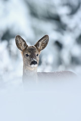 Roe deer (Capreolus capreolus) portrait in winter. Roe deer on snow. Winter. Cold. Snow.