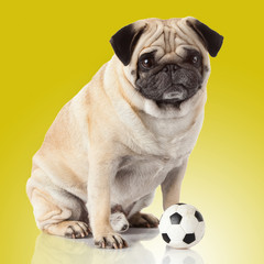 pug dog isolated on a yellow background