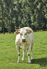 Belgian cow in a typical belgian setting