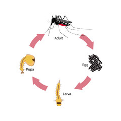 Vector illustration of the life cycle of a tiger mosquito