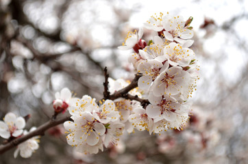 Flowering branch of apricot in the garden closeup