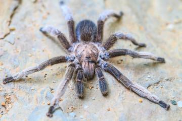 close up Tarantula on ground