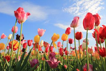 Fototapete - Leuchtendes Tulpenfeld und blauer Himmel mit Wolken
