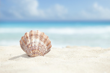Scallop Shell in the Sand Beach of the Caribbean Sea