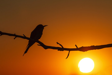 Bird silhouette at sunset/Bird silhouette at sunset, lonely bird on a branch