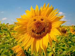 sunflower. sunflower smile. Love. Friendship. Happiness