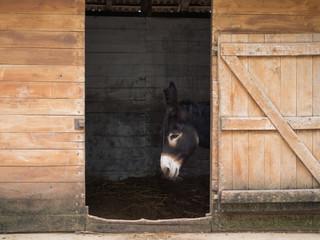 hungarian black donkey