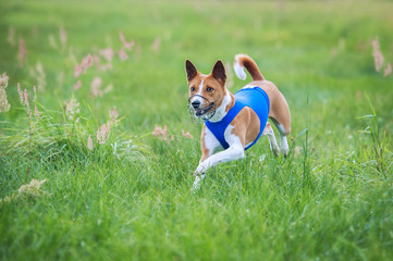 Basenji dog running on lure coursing competition