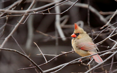 Female cardinal perched in a tree