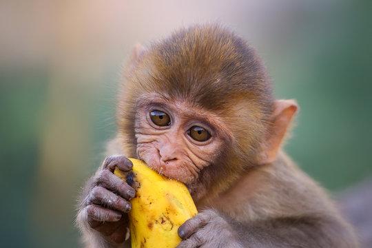 Portrait of young Rhesus macaque eating banana