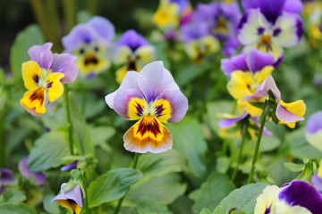 Blooming summer flowers Pansy.