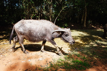 Water buffalo in a forest in asia. Cambodia.