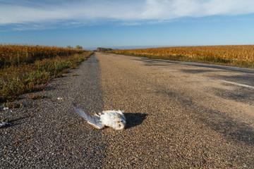 Lechuza Común atropellada en la carretera. Tyto alba.
