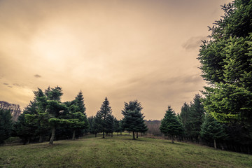 Green field with pine trees in the sunset